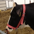 Cow Halter with Chin Chain   red-white-red