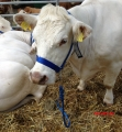 Cow Halter with Chin Chain  blue